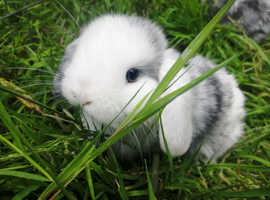 Mini lop bunnies available 28/07