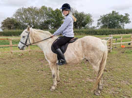 Connemara gelding 15hh light hack selling from field