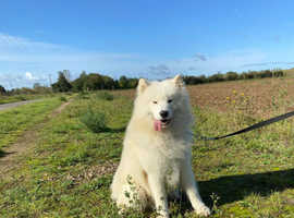 Male Samoyed