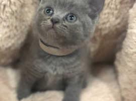 Solid blue British Shorthair Kittens