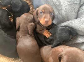 Dachshund puppy's five boys two girls