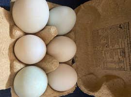 Hatching Aylesbury duck eggs for sale