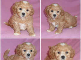 Gorgeous Shih-poo Puppies for Sale