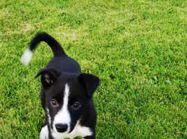 Border Collie Dogs & Puppies For Sale & Rehome in Brighton