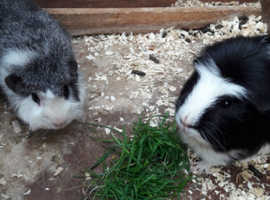 Two 18 month Male Guinea Pigs £10