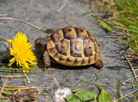 Baby Spur thighed tortoises For Sale