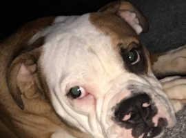 Old tym bulldog female