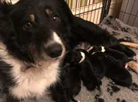 7 beautiful border collie puppies for sale