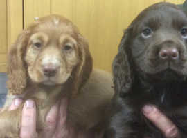 Cocker Spaniel Pups