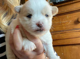 Gorgeous jack Russell cross Maltese puppies
