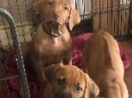 Rhodesian Ridgeback,  k.c. registered  puppies ready now.