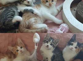 Siberian X Kittens - 1 Left !