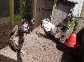 Polish tolbunt chicks