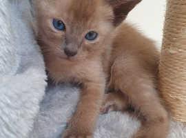 4 beautiful tonkinese kittens for sale 2 boys 2 girls