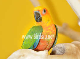 Baby Jenday conure,15