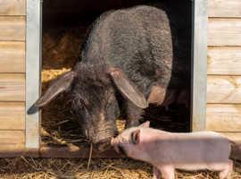 20% Off Mini Pig keeping