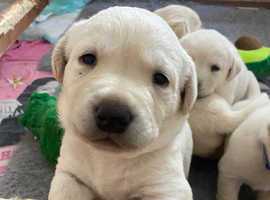 1 female yellow Labrador puppy left, ready to leave in 3 weeks