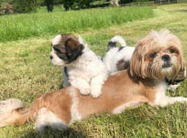 Puppies for sale Shih Tzu x bichon only 2