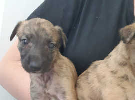 1 boy 1 girl left beautiful brindle lurchers