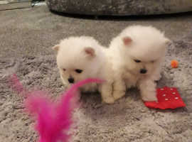 Pomeranian puppies for sale kc registered 5 star