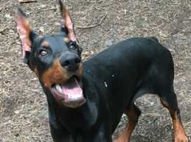 Dobermann female (CANDY)