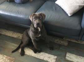16 week female cane corso