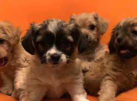 Shitzu/chihuahua 4 cheeky boy puppies
