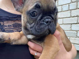 French Bulldog (male&female)