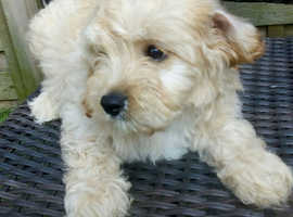 Beautiful jackapoo puppies PRA cleared