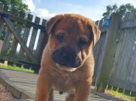 Ori-pei puppy male 4 sale
