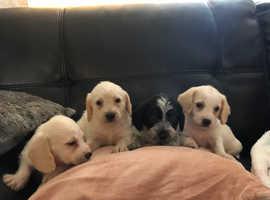 Wonderful Jackapoo puppies