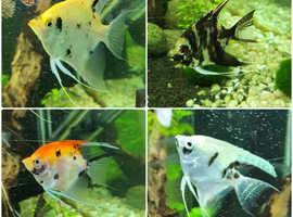4x Angelfish
