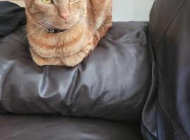 15 month's old loving male kitten/cat