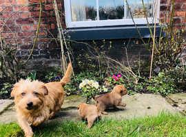 Boy Norfolk terrier