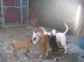 Champion Sired Kc Reg English Bull Terrier Puppies