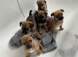 Pugshire puppies available On Tuesday 27th after vet checked and micro chipped