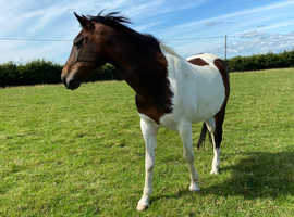 EYE CATCHING 15.2hh GELDING FOR SALE