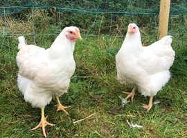 2 white wyadotte hens