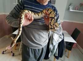 3 royal pythons