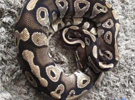 Mojave royal python pair
