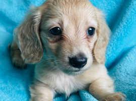 Cream Longhaired Boy- Miniature Dachshund