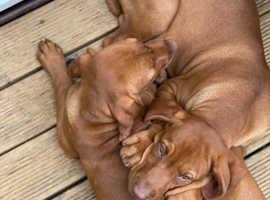 viszla puppies ready to go