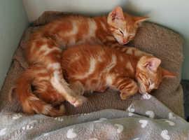 Ginger kitten-male-last one