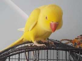Gorgeous tamed yellow ringneck parrot with cage and toys