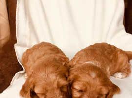 Adorable very rare Cockerpoo Puppies