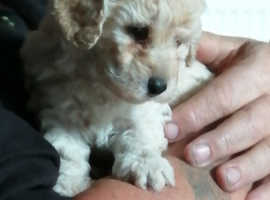 Beautiful poodle puppies