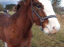 Clydesdale foal. 6months old Colt.