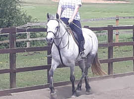 Registered Connemara Mare