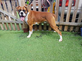 Heart scored Bobtail Boxer stud dog