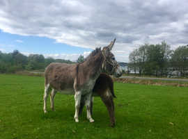 Donkey & Foal for sale
